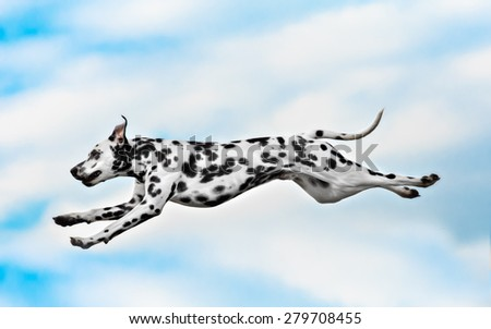 Dog breed Dalmatian jumping on a background of blue sky - stock photo