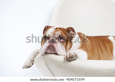 Dog breed English bulldog, lies and looks up. Studio photography on a white background. - stock photo
