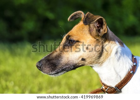 Dog breed fox terrier in the park, profile