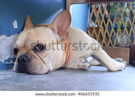 Dog breed French Bulldog Like sleeping in the cold cement floor polish is yard. In the chair in the summer heat.