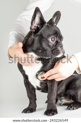 dog breed French Bulldog on reception at the doctor - stock photo