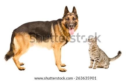 Dog breed German Shepherd  and sniffing cat Scottish Straight isolated on a white background - stock photo