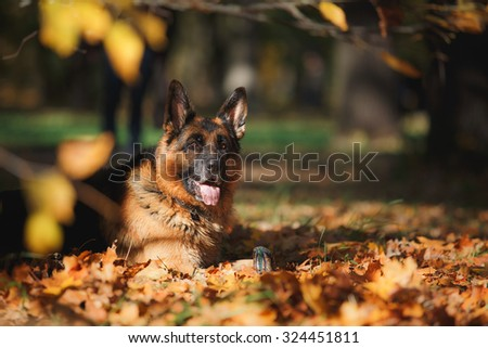 Dog breed German Shepherd walking in autumn park