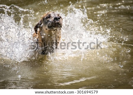 Dog breed Golden Retriever playing with water in a lake