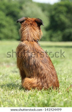 Dog breed Griffon sits and waiting for his owner (rear view) - stock photo