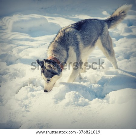Dog breed Husky in the snow