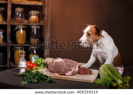 Dog breed Jack Russell Terrier and foods are on the table in the kitchen - stock photo