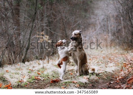 Dog breed Jack Russell Terrier and Mixed breed dog walking in park - stock photo