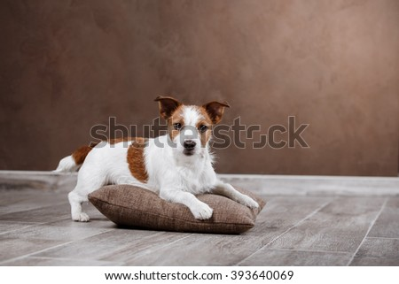 Dog breed Jack Russell Terrier portrait dog on a studio color background, dog lying on the floor of the studio - stock photo