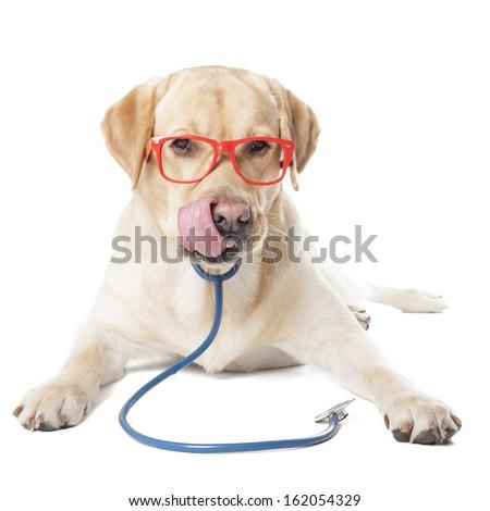 dog breed Labrador vet isolated on white background - stock photo