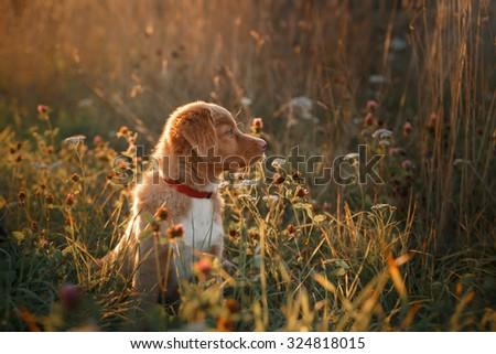 Dog breed Nova Scotia Duck Tolling Retriever walking in autumn park - stock photo