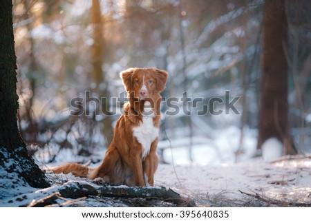 Dog breed Nova Scotia Duck Tolling Retriever walking in winter park - stock photo