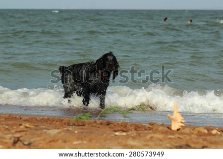 Dog breed of terrier over the Black Sea beach waiting  - stock photo