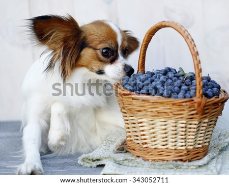 dog breed Papillon sits near a basket with Prunus spinosa - stock photo