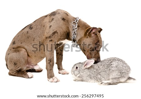 Dog breed pit bull sniffing rabbit sitting isolated on white background - stock photo