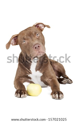 dog breed pit bull with an apple on a white background in studio - stock photo
