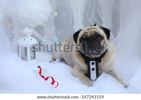 Dog breed pug on a white background in a suit the groom - stock photo