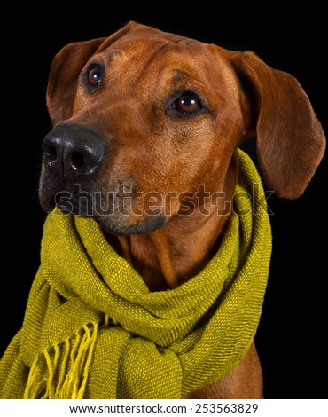 Dog breed Rhodesian Ridgeback