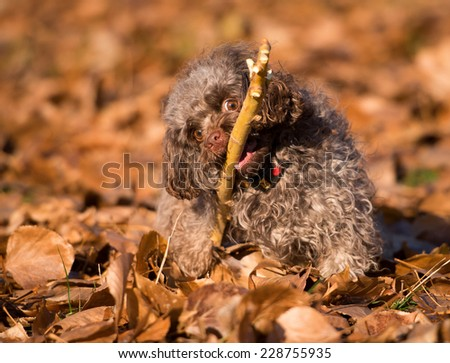 Dog breed Russian color lap dog in autumn park