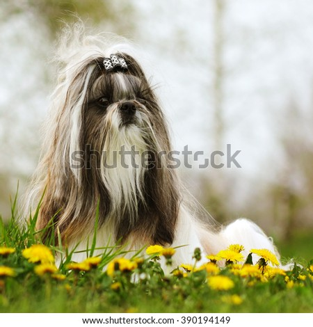 dog breed Shi tzu sitting on the grass in the spring with dandelions - stock photo