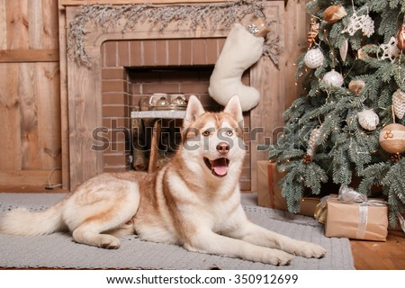 Dog breed siberian husky, portrait dog on a studio color background, Christmas and New Year. Dog lying near fireplace - stock photo
