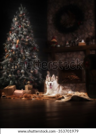 Dog breed siberian husky, portrait dog on a studio color background, Christmas and New Year. Dog lying near fireplace