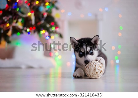 Dog breed siberian husky puppy, portrait dog on a studio color background, Christmas and New Year - stock photo