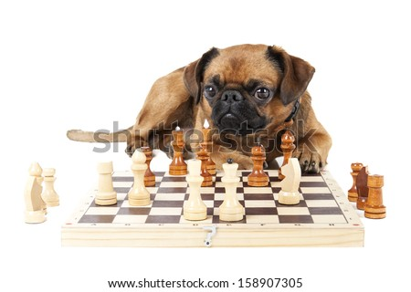 Dog Breed Small Brabant with chess - stock photo