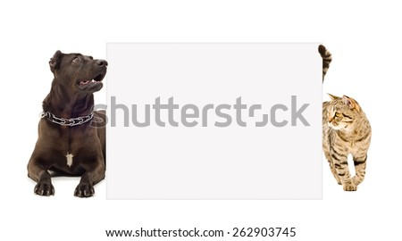 Dog breed Staffordshire Terrier and cat Scottish Straight  looks out from behind a poster - stock photo