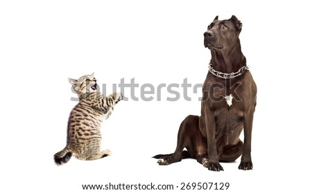Dog breed Staffordshire Terrier and frisky kitten Scottish Straight isolated on white background - stock photo