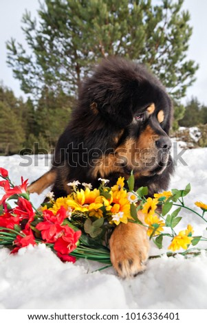 Must see Tibetan Mastiff Chubby Adorable Dog - stock-photo-dog-breed-tibetan-mastiff-lying-in-the-snow-and-protects-a-bunch-of-red-and-yellow-flowers-1016336401  Perfect Image Reference_584852  .jpg