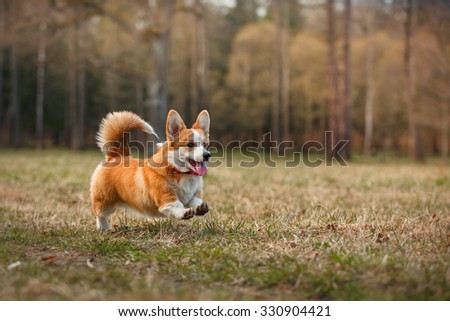 Dog breed Welsh Corgi Pembroke walking in autumn park - stock photo