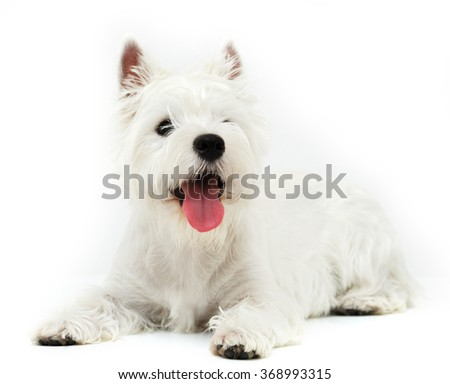 dog breed West Highland White Terrier on a white background - stock photo