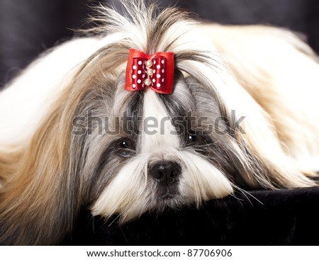dog breeds shih tzu - stock photo