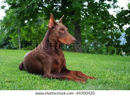 DOG Brown doberman - stock photo