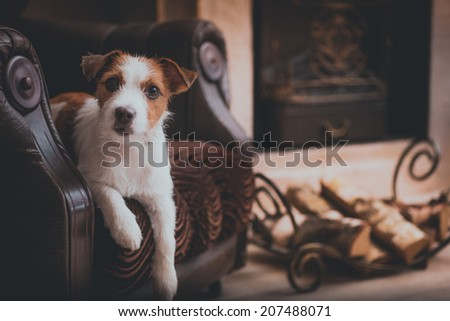 dog by the fireplace. Dog Jack Russell Terrier - stock photo