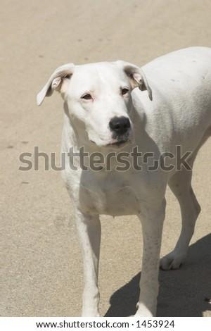 dog called Bela - stock photo