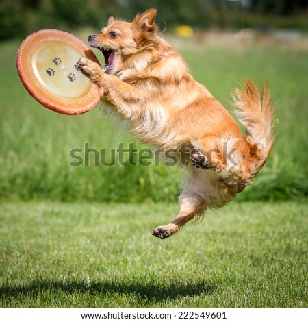 dog catching a frisbee - stock photo
