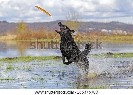 dog catching frisbee - stock photo