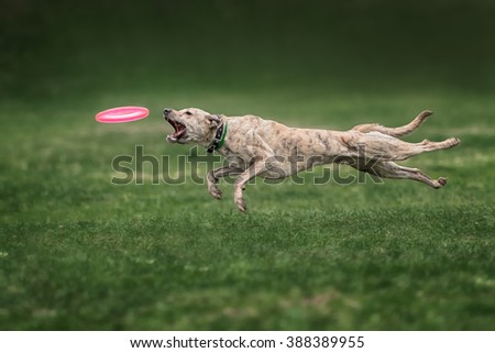 dog catching frisbee in jump on green grass - stock photo