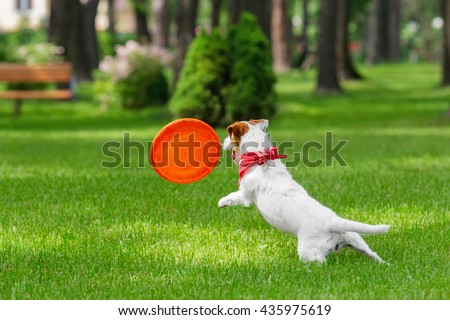 Dog catching frisbee. Jack Russel Terrier pet playing outdoors in a park. Dog and toy. Animal in motion background. - stock photo
