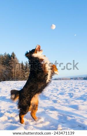 Dog catching snowball - stock photo