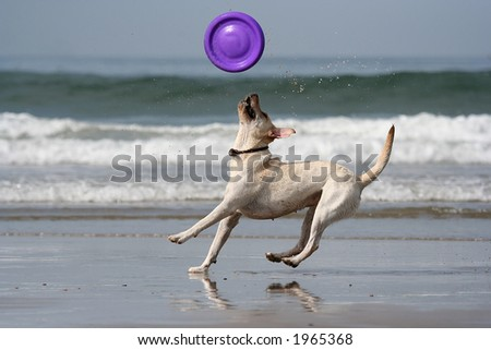 dog catching the disc in the beach - stock photo