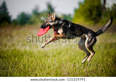 dog catching the flying disc in jump - stock photo