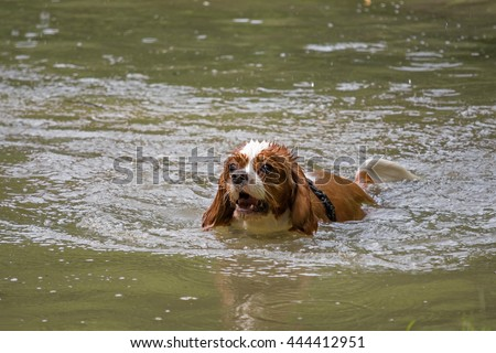 Dog Cavalier KIng Charles spaniel swimming in the lake
