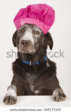 Dog chef cook with flour on its face on white background - stock photo