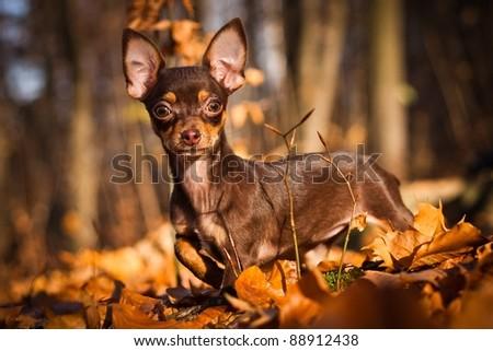 dog chihuahua - stock photo