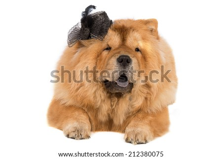 dog chow chow with a black hat on the white background - stock photo