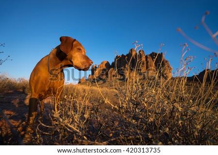 dog closeup in superstition mountains arizona - stock photo