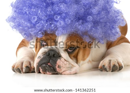dog clown - english bulldog dressed up like a clown with silly expression isolated on white background - stock photo